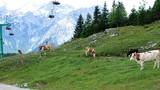 Krave pod dvosedežnico